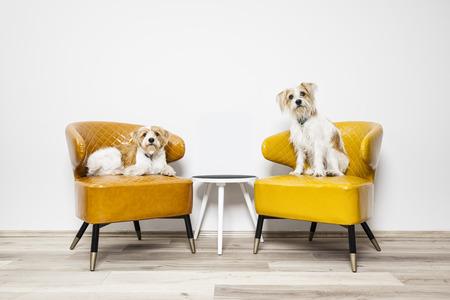アームチェアに座っている 2 つの小さな犬のイメージ