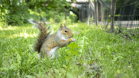 An image of a little sweet squirrel eating in the grass