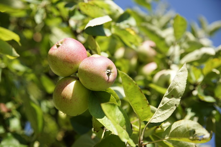 typical apple tree with some apple fruits