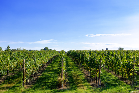 An image of a typical vineyard in northern Italy Trentino