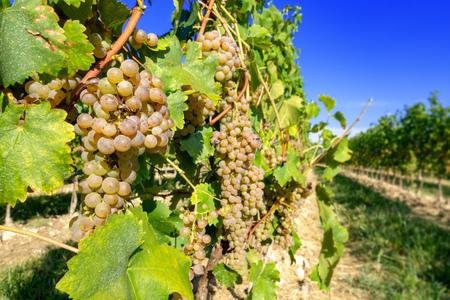 Une image d'un vignoble typique du nord de l'Italie Trentin