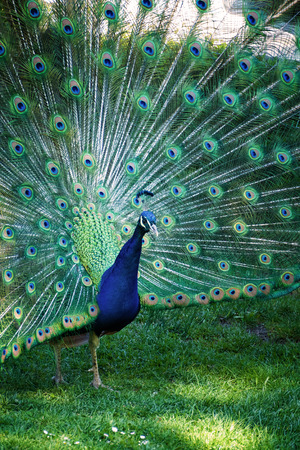 An image of a peacock showing his feathers Stockfoto