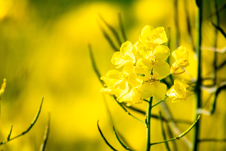 An image of a rape field spring background