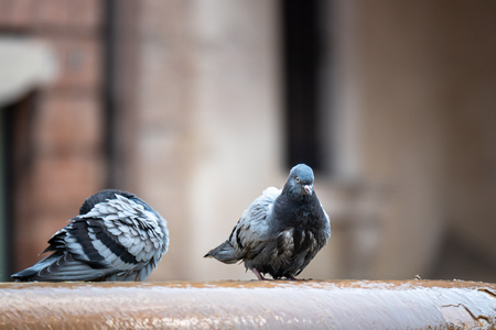 An image of a Pigeon at the well