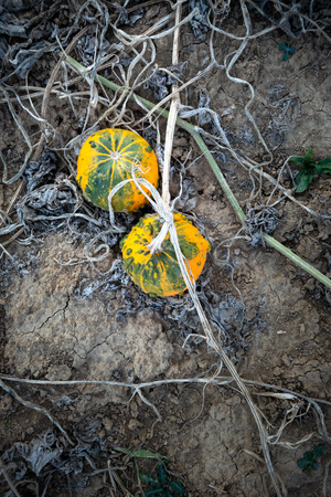 An image of a typical field of pumpkin 写真素材