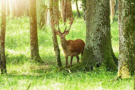 An image of a deer in the bright forest
