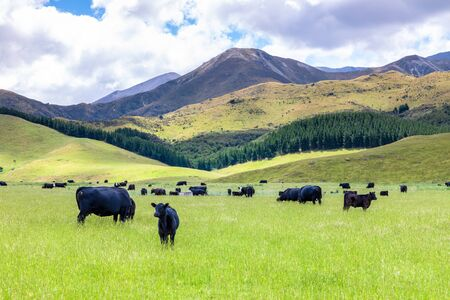 An image of a lush landscape with cows in New Zealand