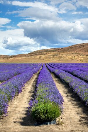 An image of a lavender field in New Zealand