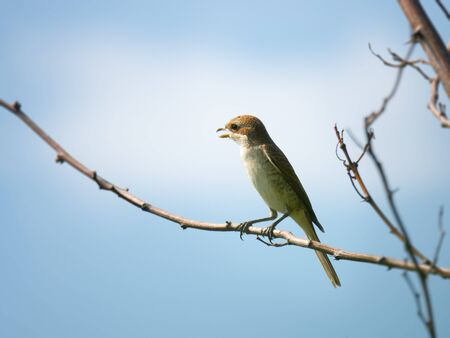 An image of a young female Red-backed shrike Zdjęcie Seryjne