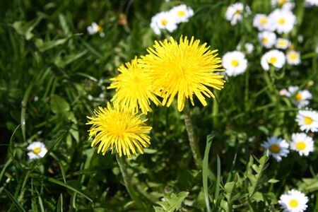 An image of a sweet dandelion in the green meadow Stockfoto - 130150922