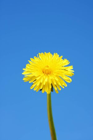 An image of a sweet dandelion in the blue sky Stockfoto - 130150925