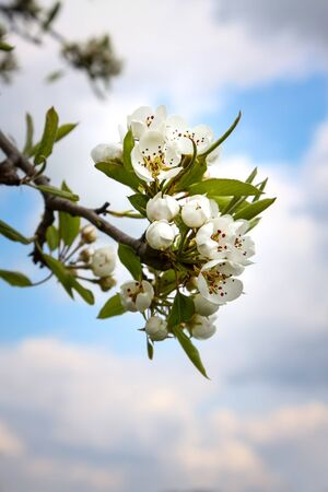 An image of some nice pear blossoms