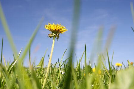 An image of a sweet dandelion in the green meadow Stockfoto - 130150895