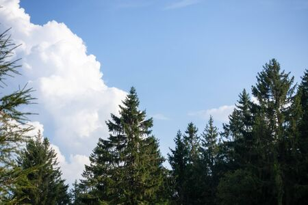 An image of fir trees blue sky with clouds