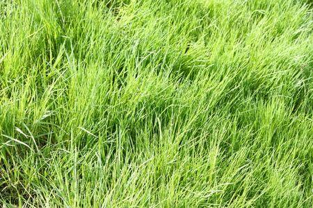 An image of a green grass