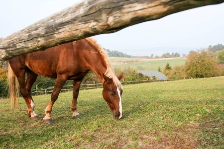 A photography of a grazing brown horse
