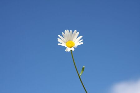 An image of a marguerite flower and the blue sky background