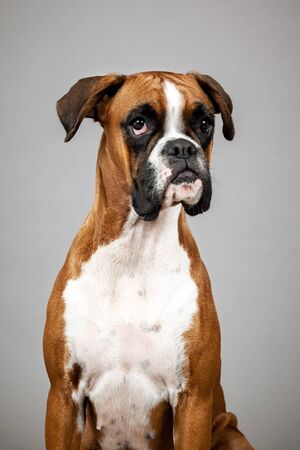 An image of a dog German Boxer