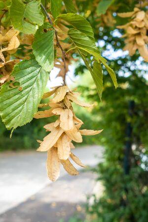 An image of some typical seeds of a hornbeam tree Reklamní fotografie