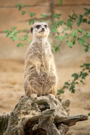 An image of a watching beautiful typical meercat 免版税图像