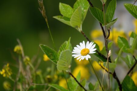 An image of a natural daisy flower