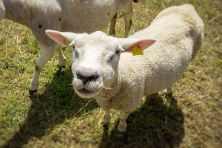 An image of a sheep in the green meadow