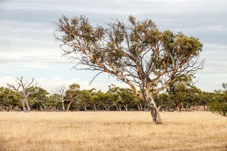 An image of a eucalyptus tree in an Australian landscape scenery Reklamní fotografie