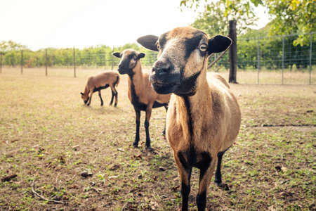 An image of some brown goats looking