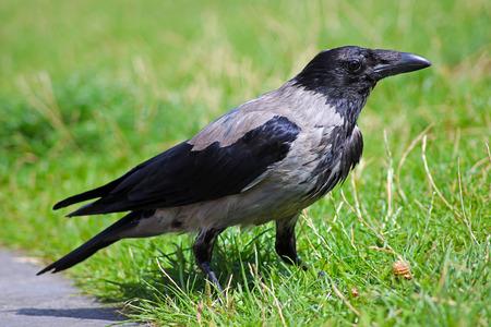 canny: crow sitting on a lawn