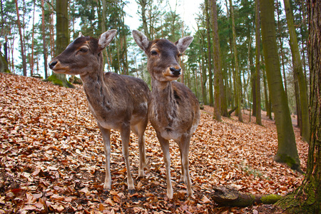 two fallow deers in a forest