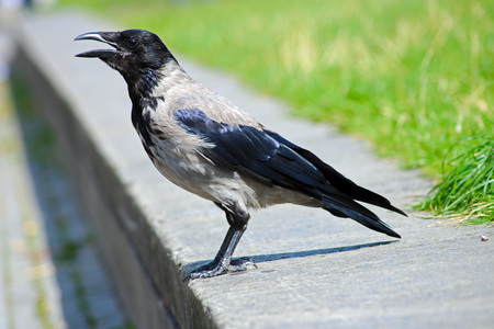 canny: croaking crow sitting on a curbside