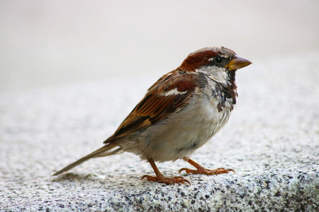 blacktop: sparrow sitting