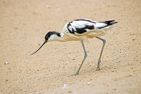 avocet walking on sand