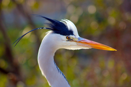head of an angry heron