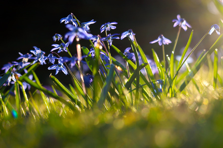 cluster of little blue flowers in the bright sun Stock Photo