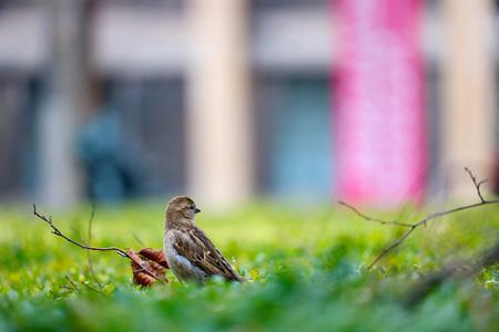 little sparrow on an urban green area