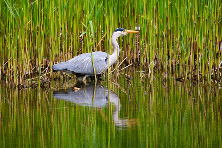 heron foraging between the reed in the shore region of a lake or pond