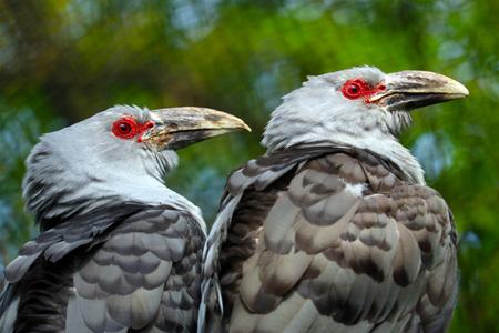 in unison: two cuckoo birds in profile side by side