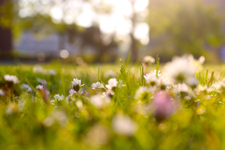 urban meadow with daisies in front of blurry trees and a row of buildings in the bright sun in spring Stock Photo