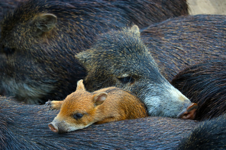 sounder or family of cuddling wild boars and a cute piglet