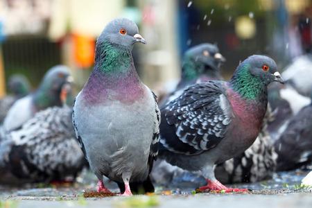 group of pigeons foraging in the street in berlin Foto de archivo