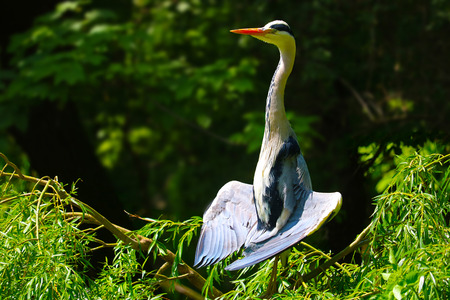 tree position: grey heron sitting in a tree in the sun spreading the wings in a yoga like meditation position