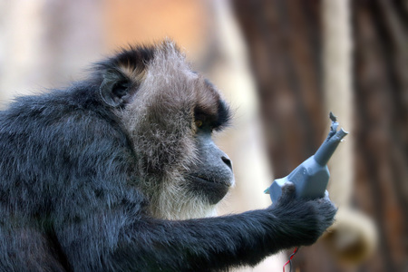 a curious wanderoo monkey playing with a technical device