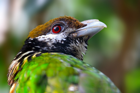 head of a white-eared catbird in profile view Stock Photo
