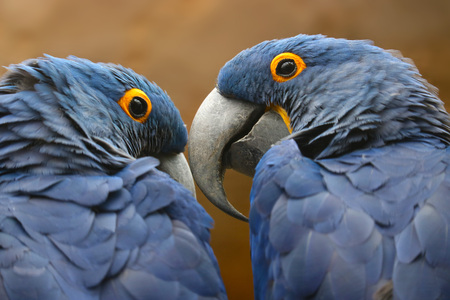 in unison: back view of two blue hyacinth macaw parrots sitting side by side looking to each other