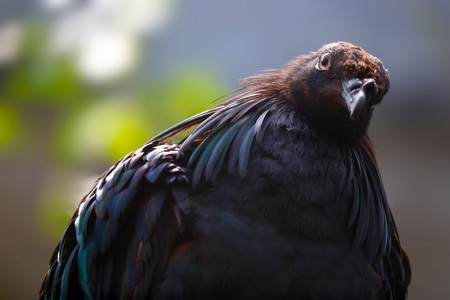 curious nicobar pigeon dove bird with laterally tilted head in frontal view Stock Photo