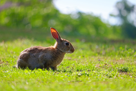 common european rabbit in profile view sitting in a meadow in the sun