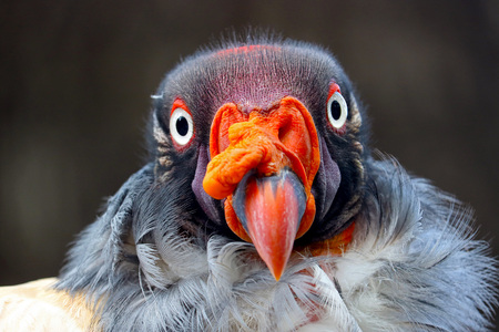 colorful head of a curious staring king vulture bird in frontal view