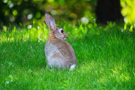 common european rabbit in back view sitting in a meadow in an urban park in berlin