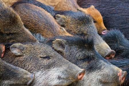 suid: sounder or family of sleeping wild boars Stock Photo
